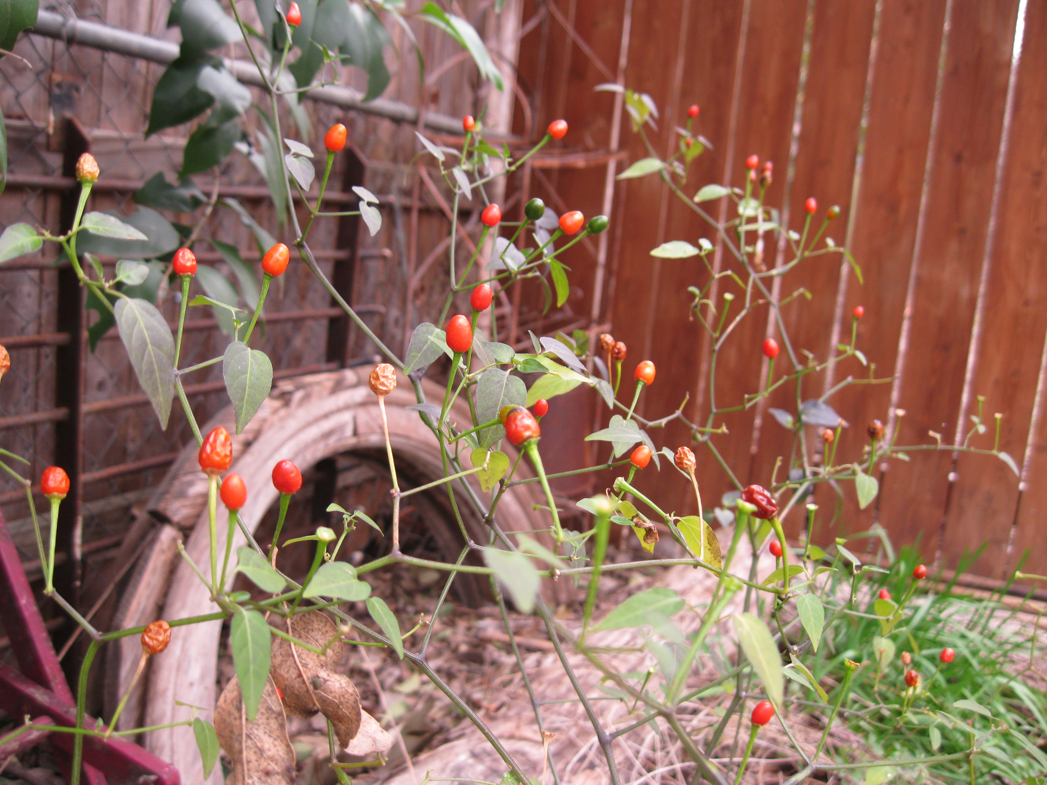 Chile Pequin Wild Edible Plants Of Texas